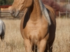 Tennessee Walking Gelding named Ace when 2 years old.