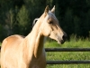 Tennessee Walking Gelding named Ace when 3 years old.