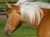 Tennessee Walking Gelding named Maggie when 2 years old.