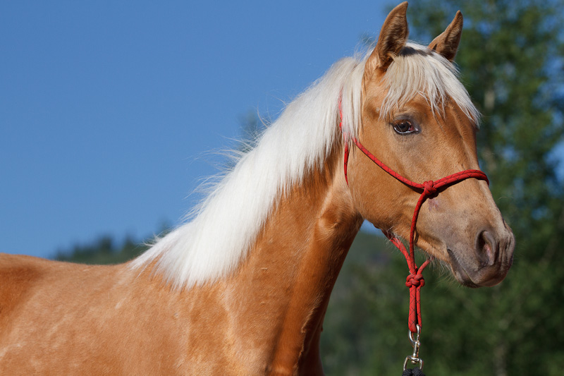 Tennessee Walking Mare named Maggie when 2 years old.