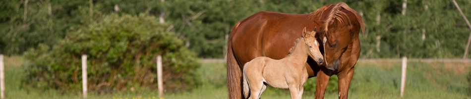 Tennessee Walking Horse with barn names Spice (mare) and Daisy (foal).