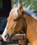 Tennessee Walking Horse with barn name of Dually