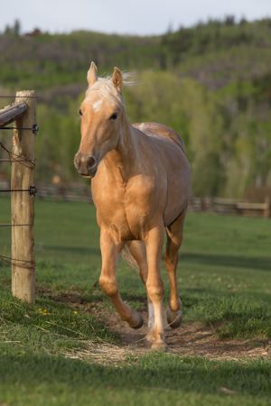 Tennessee Walking Horse with barn name of Daisy