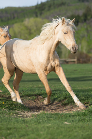 Tennessee Walking Horse with barn name of Dutch