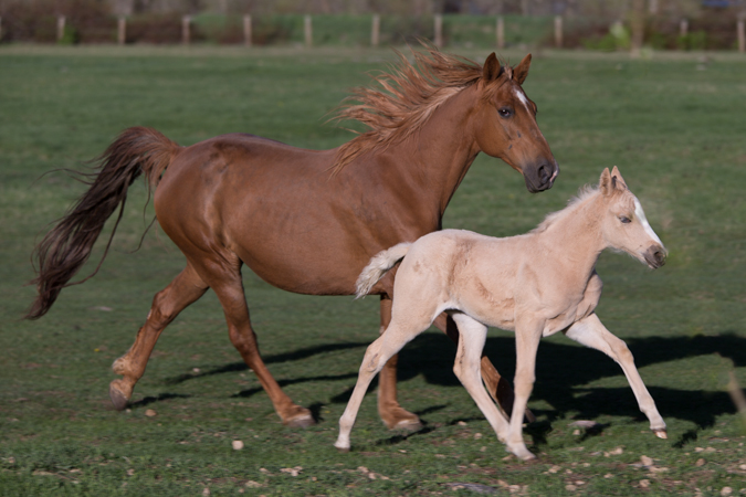 Tennessee Walking Horse with Barn Name of Sugar and Foal Named Kula